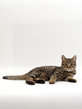 jane-burton-domestic-cat-tabby-chinchilla-burmese-cross