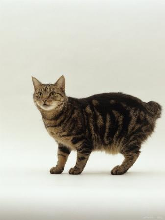 jane-burton-domestic-cat-tabby-manx-no-tail