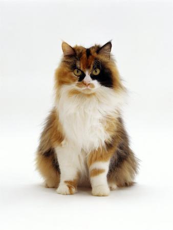 jane-burton-domestic-cat-tortoiseshell-and-white-female-sitting