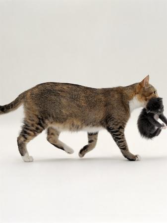 jane-burton-domestic-cat-tortoiseshell-mother-carrying-moving-kitten