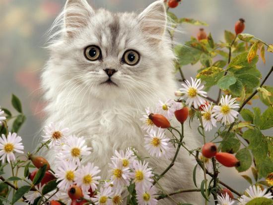 jane-burton-domestic-cat-turkish-van-kitten-among-michaelmas-dasies-and-rose-hip