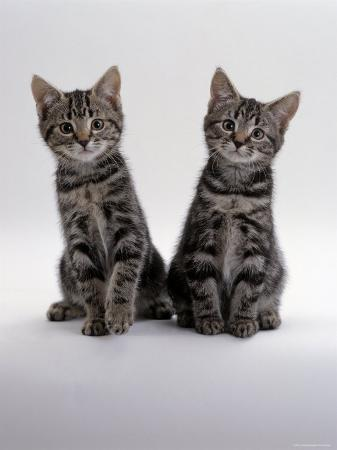 jane-burton-domestic-cat-two-8-week-tabby-kittens-male-and-female