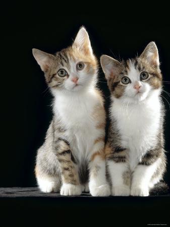 jane-burton-domestic-cat-two-8-week-tabby-tortoiseshell-and-white-kittens