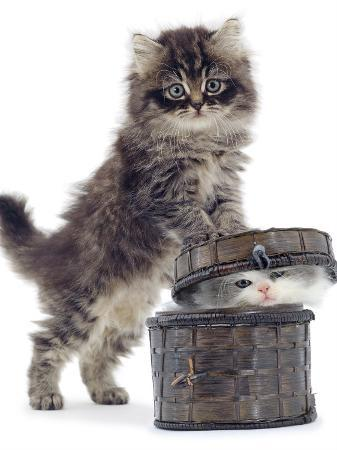 jane-burton-domestic-kitten-felis-catus-on-basket-with-another-kitten-inside-it