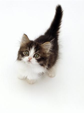 jane-burton-looking-down-on-domestic-cat-7-week-tabby-and-white-persian-cross-kitten-looking-up