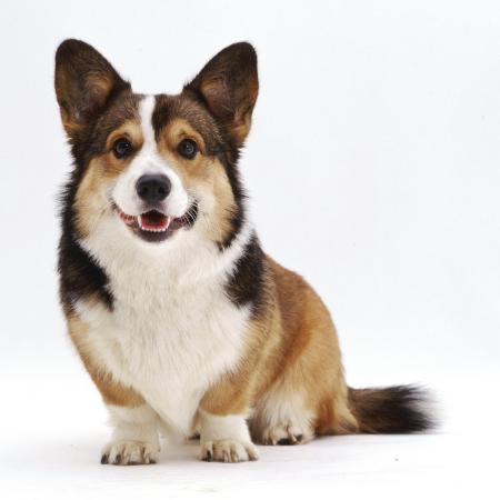 jane-burton-pembrokeshire-welsh-corgi-undocked-dog-9-months-old-sitting