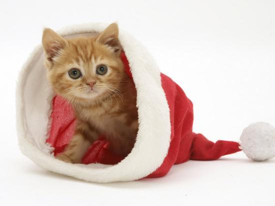 jane-burton-red-tabby-kitten-in-a-father-christmas-hat