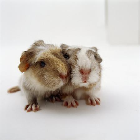 jane-burton-two-baby-crested-guinea-pigs-one-day