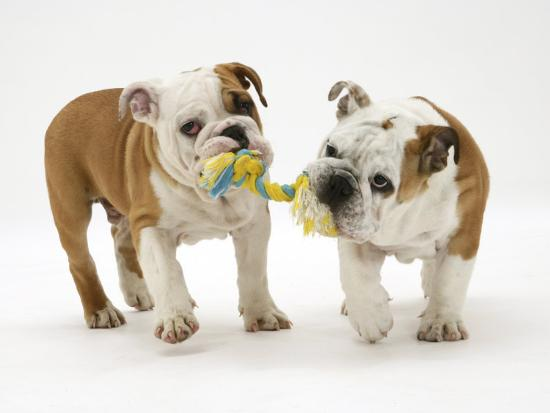 jane-burton-two-bulldog-pups-carrying-a-ragger
