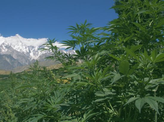 jane-sweeney-marijuana-bushes-near-hopar-glacier-hunza-pakistan