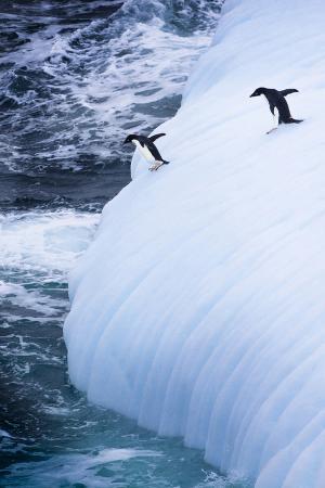 janet-muir-antarctica-adelie-penguins-jump-of-an-iceberg