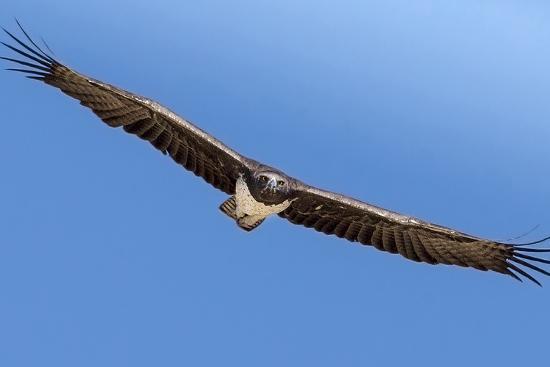 janet-muir-etosha-national-park-namibia-martial-eagle-in-flight
