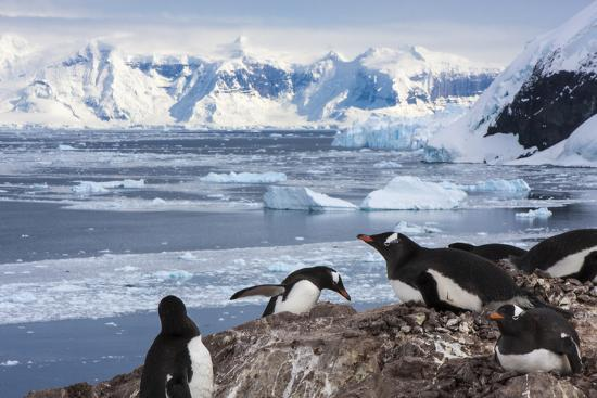 janet-muir-lemaire-channel-antarctica-gentoo-penguin-colony