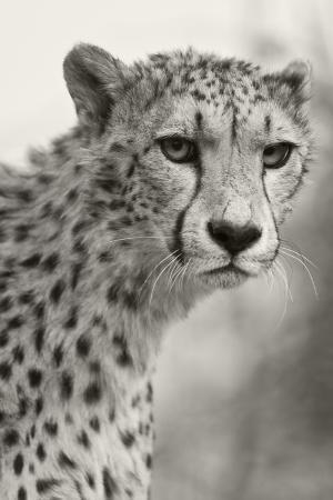 janet-muir-livingstone-zambia-africa-cheetah