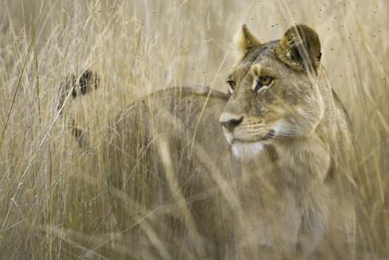 janet-muir-okavango-delta-botswana-close-up-of-lion-standing-in-tall-grass