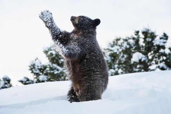 janette-hil-black-bear-ursus-americanus-montana-united-states-of-america-north-america