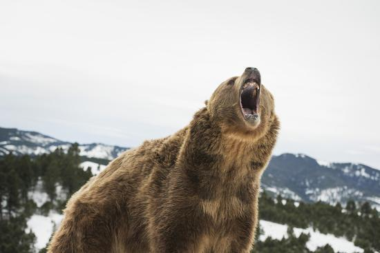 janette-hil-brown-bear-grizzly-ursus-arctos-montana-united-states-of-america-north-america