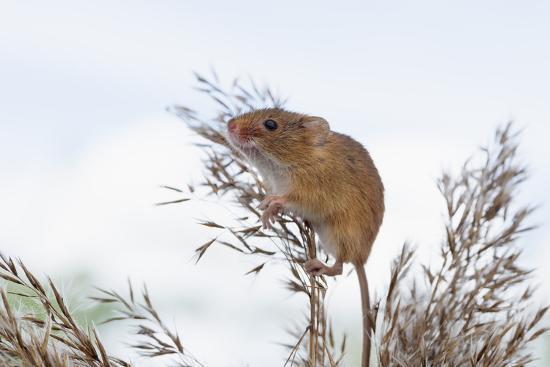 janette-hill-eurasian-harvest-mouse-micromys-minutus-devon-england-united-kingdom
