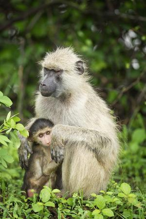 janette-hill-mother-and-baby-yellow-baboon-papio-cynocephalus-south-luangwa-national-park-zambia-africa