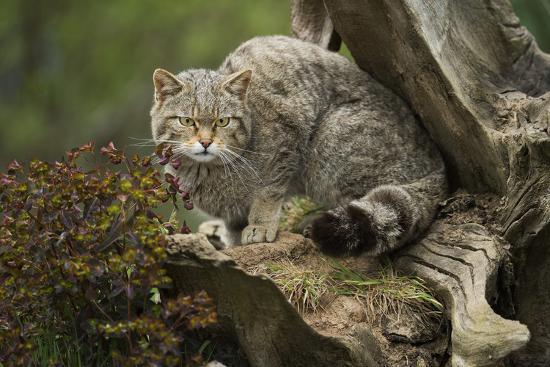 janette-hill-scottish-wildcat-wildcat-felis-silvestris-devon-england-united-kingdom