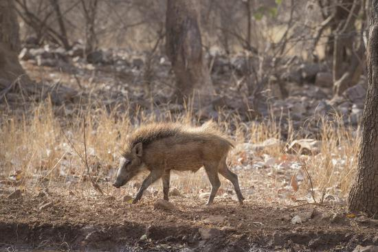 janette-hill-wild-boar-ranthambhore-national-park-rajasthan-india-asia