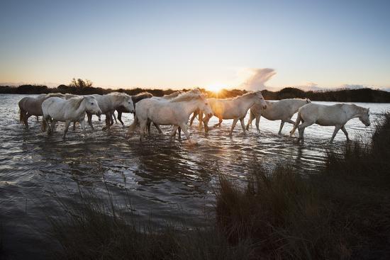 janette-hill-wild-white-horses-at-sunset-camargue-france-europe