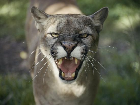 jason-edwards-a-mountain-lion-hisses-at-the-camera