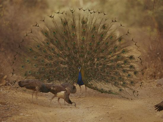 jason-edwards-a-peacock-displays-to-a-group-of-peahens
