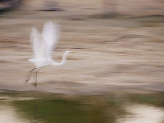 jason-edwards-a-white-egret-is-a-blur-of-motion-as-it-flys