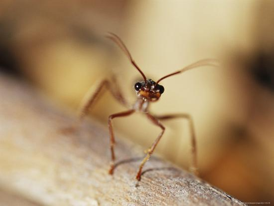jason-edwards-aggressive-bull-ant-in-defensive-posture-with-jaws-agape