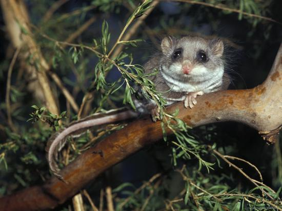 jason-edwards-alert-feathertail-glider-with-tail-outstretched-climbs-a-branch-australia