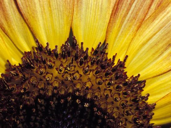 jason-edwards-close-up-detail-of-a-sunflower-head-showing-the-seeds-and-petals-north-carlton-australia