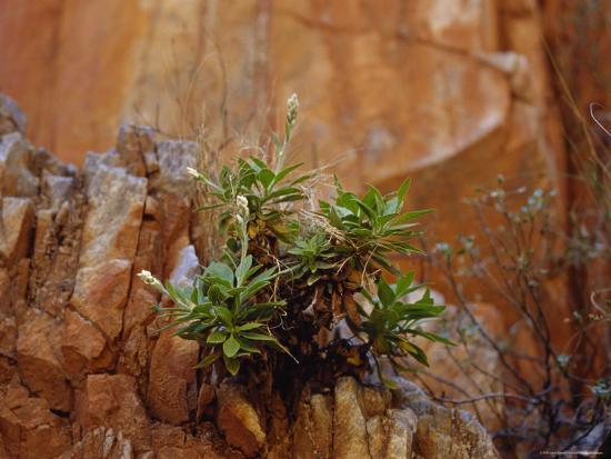 jason-edwards-goodenia-grandiflora-precariously-growing-from-a-desert-cliff-face-australia