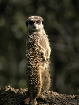 jason-edwards-meerkat-leaning-on-tail-on-mound-alert-sentry-duty-for-predators-australia