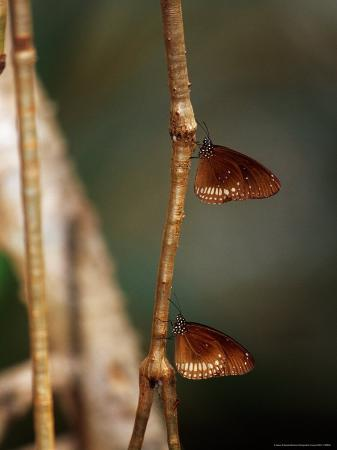 jason-edwards-pair-of-common-indian-crow-butterflies-roosting-on-a-vine