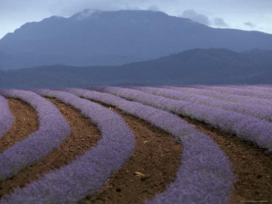 jason-edwards-rows-of-lavender-flowers-await-harvest-from-tasmania-s-rich-soils-australia