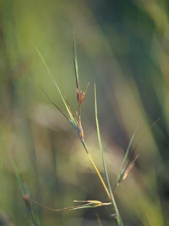 jason-edwards-setting-sun-catches-a-patch-of-kangaroo-grass-themeda-triandra