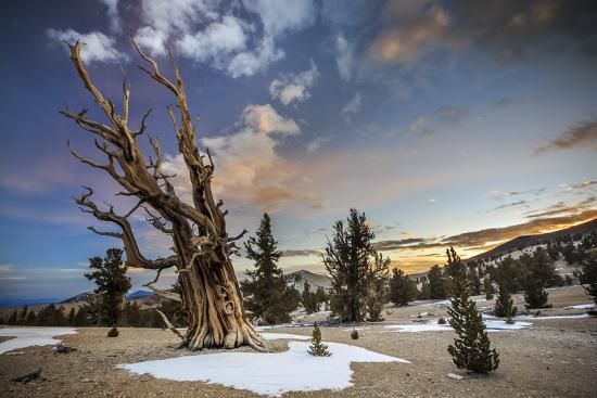 jay-goodrich-bristlecone-pines-at-sunset-near-bishop-california