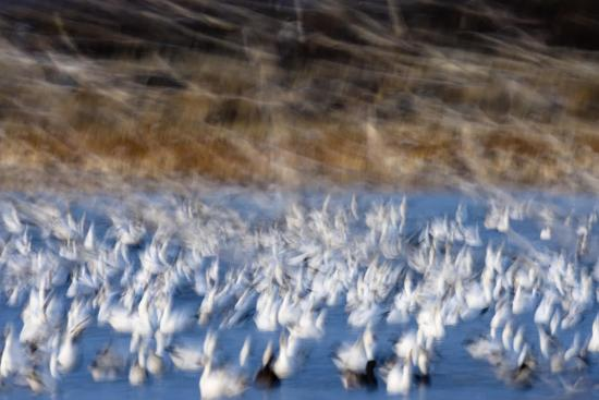 jay-goodrich-the-liftoff-of-snow-geese-in-bosque-del-apache-national-wildlife-refuge