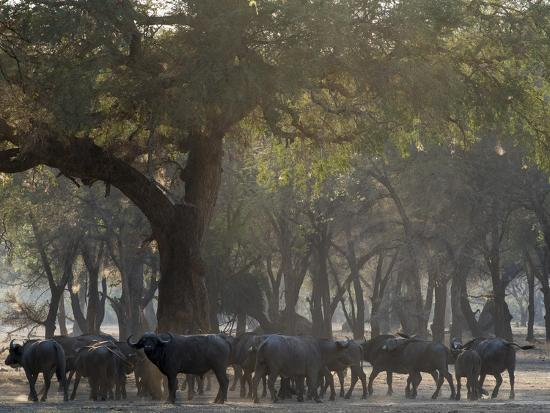 jaynes-gallery-africa-zambia-herd-of-cape-buffaloes