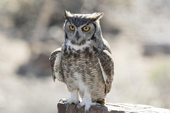 jaynes-gallery-arizona-buckeye-great-horned-owl-perched-on-house