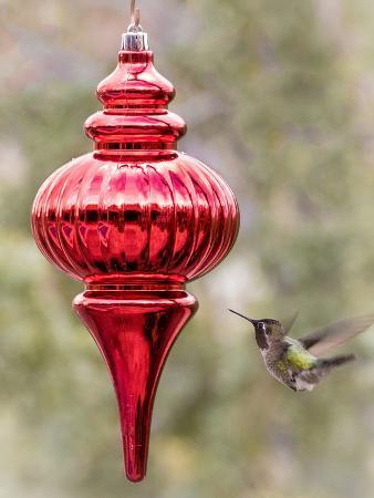 jaynes-gallery-arizona-buckeye-male-anna-s-hummingbird-inspects-red-christmas-ornament