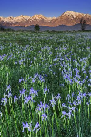 jaynes-gallery-california-sierra-nevada-mountains-wild-iris-blooming-in-owens-valley