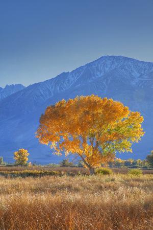 jaynes-gallery-california-sierra-nevada-range-backlit-cottonwood-tree-in-owens-valley