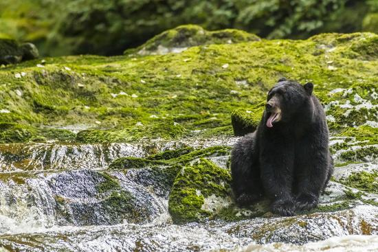 jaynes-gallery-canada-british-columbia-inside-passage-black-bear-fishing-on-qua-creek