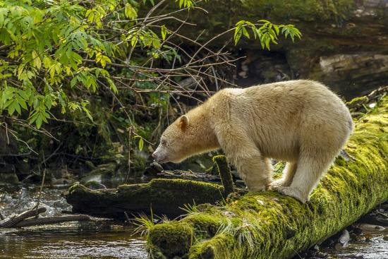 jaynes-gallery-canada-british-columbia-inside-passage-white-spirit-bear-hunts-for-fish-on-riordan-creek