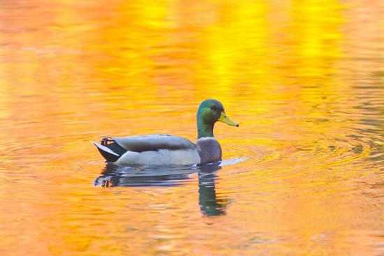 jaynes-gallery-canada-quebec-mount-st-bruno-conservation-park-mallard-drake-autumn-colored-water