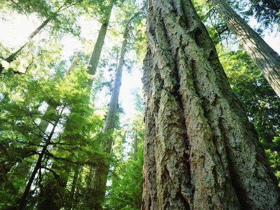 jaynes-gallery-canada-vancouver-island-old-growth-douglas-fir-tree