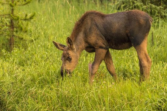 jaynes-gallery-colorado-rocky-mountain-national-park-close-up-of-moose-calf