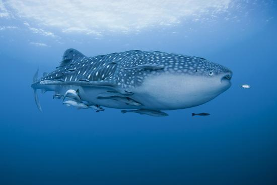 jaynes-gallery-detail-of-whale-shark-and-remoras-cenderawasih-bay-papua-indonesia